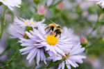 Bumblebee on New England Aster
