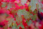 Autumn Maple Leaf in the Rain