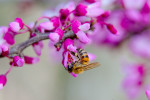 Honeybee on Redbud Blossom