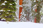 Snowing in Sequoia